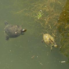 Roodwangschildpad (Trachemys scripta) en Balkanbeekschildpad (Mauremys rivulata)