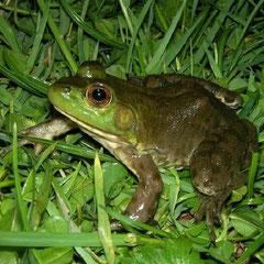 Brulkikker (Lithobates catesbeianus)