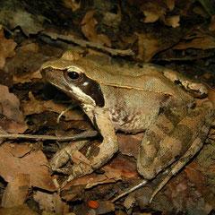 Italian Agile Frog (Rana latastei), Nova Gorica, Slovenia, August 2014