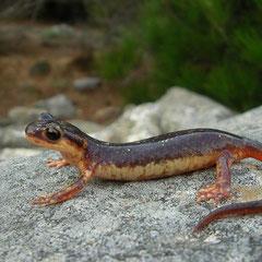 Egeische landsalamander (Lyciasalamandra helverseni), ongevlekt vrouwtje
