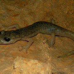 Supramontane Cave Salamander (Speleomantes supramontis), Sardinia, Italy, May 2011