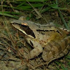 Agile Frog (Rana dalmatina), Ohrid, Macedonia, July 2012
