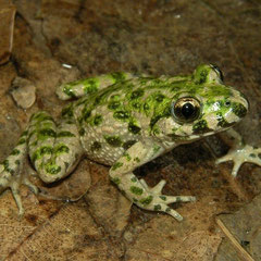 Parsley Frog (Pelodytes punctatus), La Brenne, France, June 2011