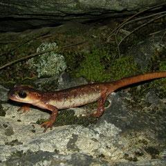 Billae's landsalamander (Lyciasalamandra billae) vrouwtje