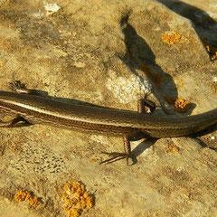 Slangenoogskink (Ablepharus kitaibelii)
