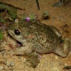 Iberian Midwife Toad (Alytes cisternasii), Coto Doñana, Spain, February 2016