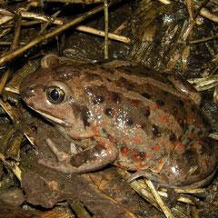 Knoflookpad (Pelobates fuscus) wijfje