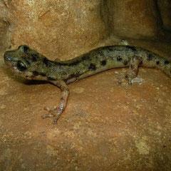 Monte Albo Cave Salamander (Speleomantes flavus), Sardinia, Italy, May 2011