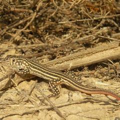 Franjeteenhagedis (Acanthodactylus erythrurus) juveniel