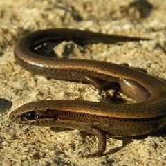 Oostelijke slangenoogskink (Ablepharus budaki)