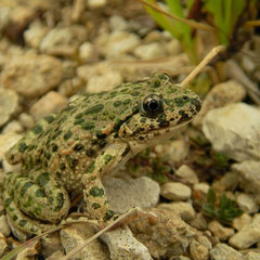 Parsley Frog (Pelodytes punctatus), Lorraine, France, September 2012