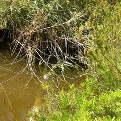 Europese moerasschildpad (Emys orbicularis) zonnend naast roodwangschildpadden (Trachemys scripta elegans)