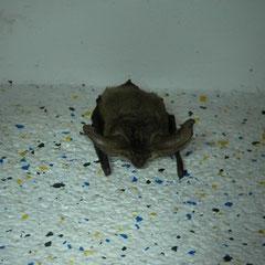 Grootoorvleermuis (Plecotus auritus) hangt boven mijn hoofd terwijl ik aan het douchen was.
