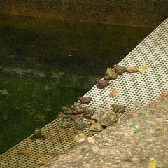 Iberische meerkikker (Pelophylax perezi)