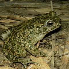 African Green Toad (Bufotes boulengeri siculus), Sicily, May 2014