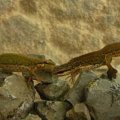 Palmate Newts (Lissotriton helveticus), Asturias, Spain, April 2012