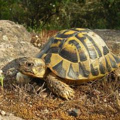 Griekse landschildpad (Testudo hermanni)