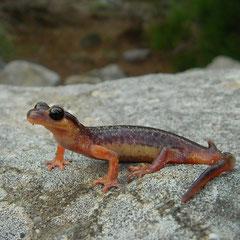 Egeische landsalamander (Lyciasalamandra helverseni), mannetje met kleine vlekjes