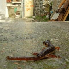 Egeïsche landsalamander (Lyciasalamandra helverseni) tijdens een regenbui lopen de diertjes ook over de straat