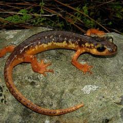 Marmaris landsalamander (Lyciasalamandra flavimembris)