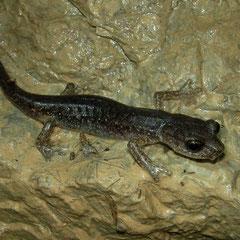 Gene's Cave Salamander (Speleomantes genei), Sardinia, Italy, May 2011