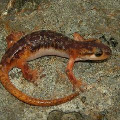 Luschani's landsalamander (Lyciasalamandra luschani basoglui) vrouwtje