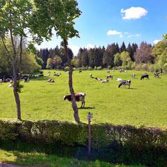 Urlaub in NRW Kühe melken