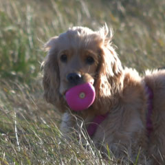 Dog with Ball in Kingsbarns