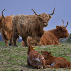 Highlandcows - in the shop