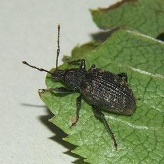 Dickmaulrüssler-Käfer
