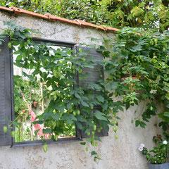 Le houblon (Humulus lupulus) gagne sur le miroir