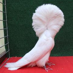 Champion Femelle Blanc - Loubet G