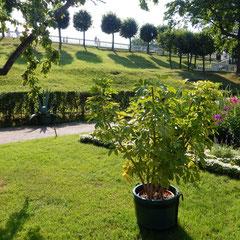 Gartenarchitektur - Führung durch Peterhof