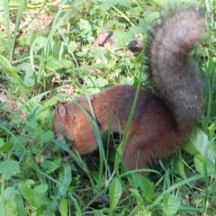 Ein Eichhörnchen in Peterhof.
