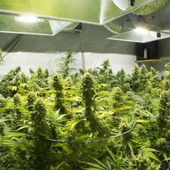 cannabis pflanzen in der Blüte
