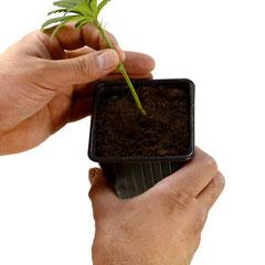 Stecke die Pflanze in Erde