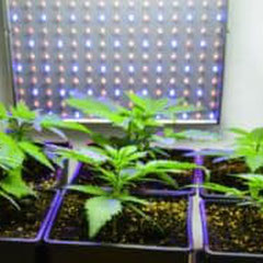 cannabis wachstum woche 2