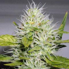 cannabis Blüte Woche 5