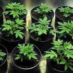 junge cannabis pflanzen im wachstum