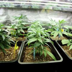 cannabis 30 Tage wachstum