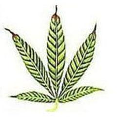 Zink Mangel Cannabis fortgeschrittenes Stadium