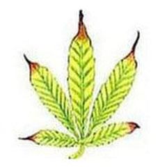 Zink Mangel Cannabis spätes Stadium