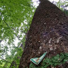 Der höchste Baum Deutschlands von unten gesehen!
