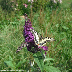 Machaon sur buddleia - saison 2009