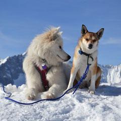 Lundehund Berylla 5 Jahre und  Elisée, Samojede, 3 Jahre alt, auf einer Skitour im Wallis