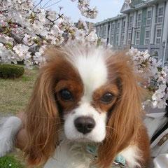 桜並木で私が抱っこしたらビビっている華実
