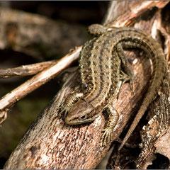 Waldeidechse im Unterholz