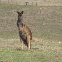 unser erstes Känguru auf Kangaroo Island
