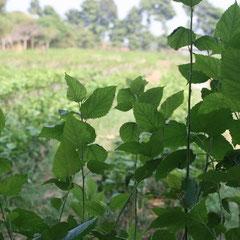 Futter der Seidenraupen - Maulbeerblätter