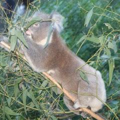und wir konnten die Koalas richtig nahe sehen..........